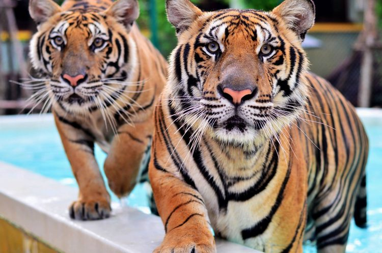 The Tiger Kingdom - Things to Do in Phuket