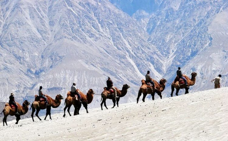 Ride on a camel in Ladakh