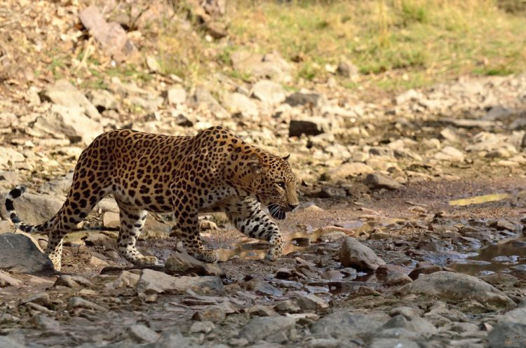 Safari at Leopard Conservation Reserve - Things to Do in Jaipur, India