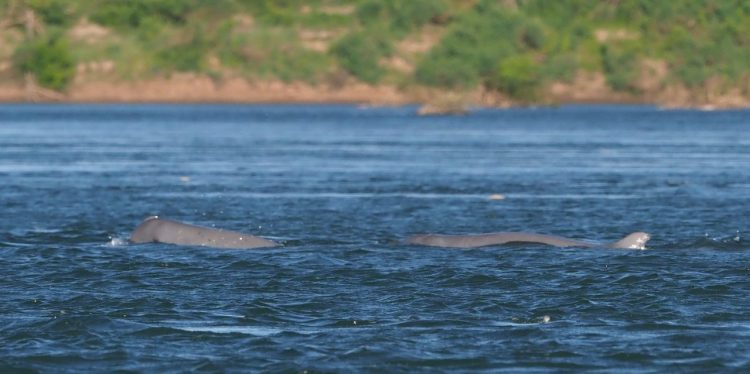 Spot the dolphins at Mekong River