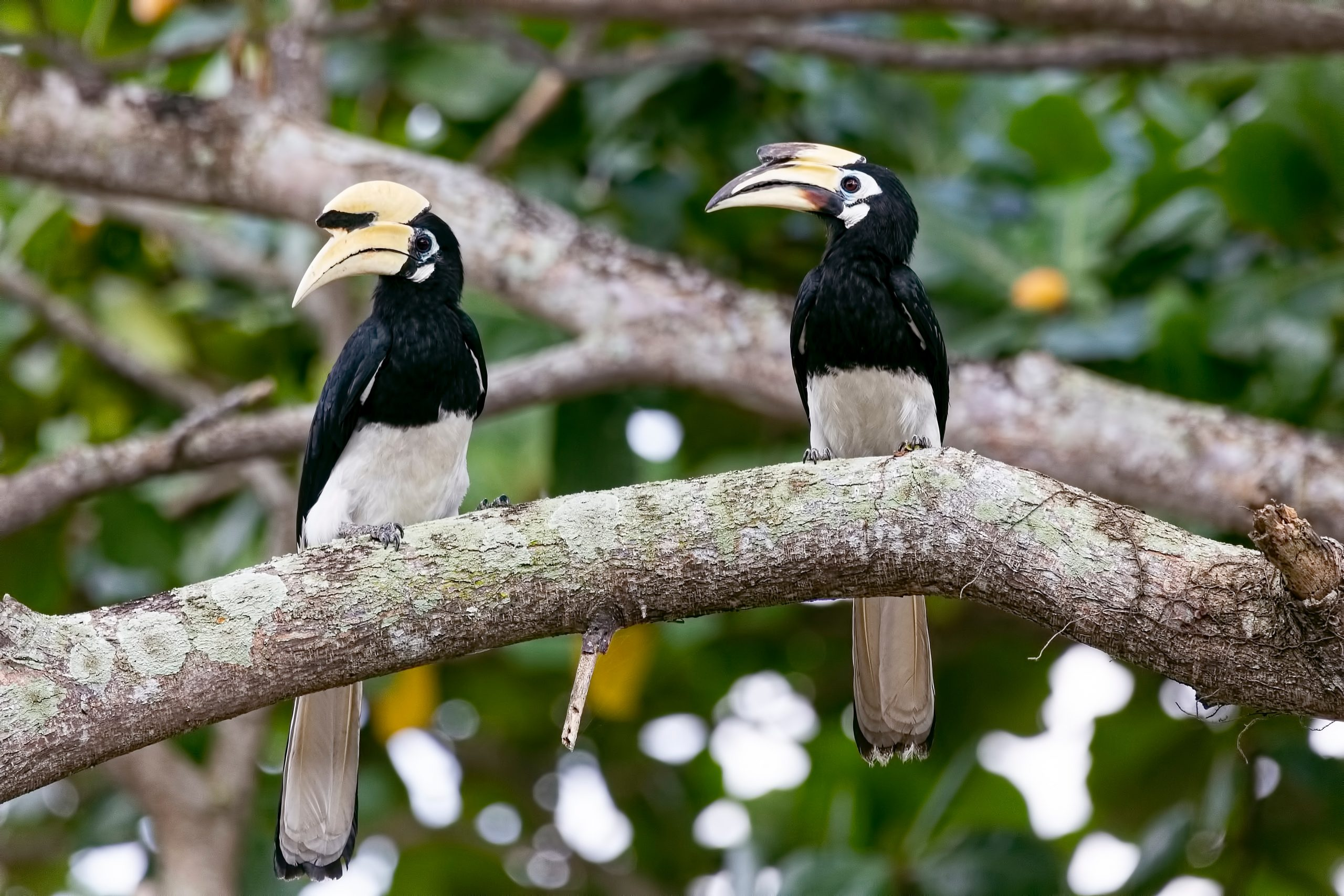 Capture a snapshot of the exotic hornbill - Ecotourism in Malaysia