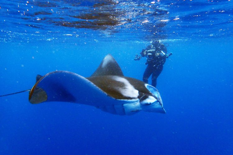 Manta Rays at Ishigaki Island - Things to Do in Okinawa